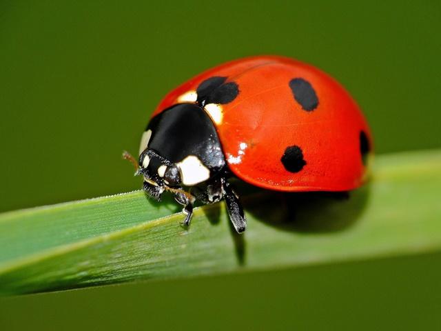てんとう虫の種類と名前を画像で紹介!名前の由来はなに ...