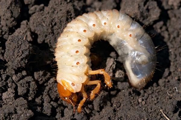 カブトムシ 幼虫 出てくる